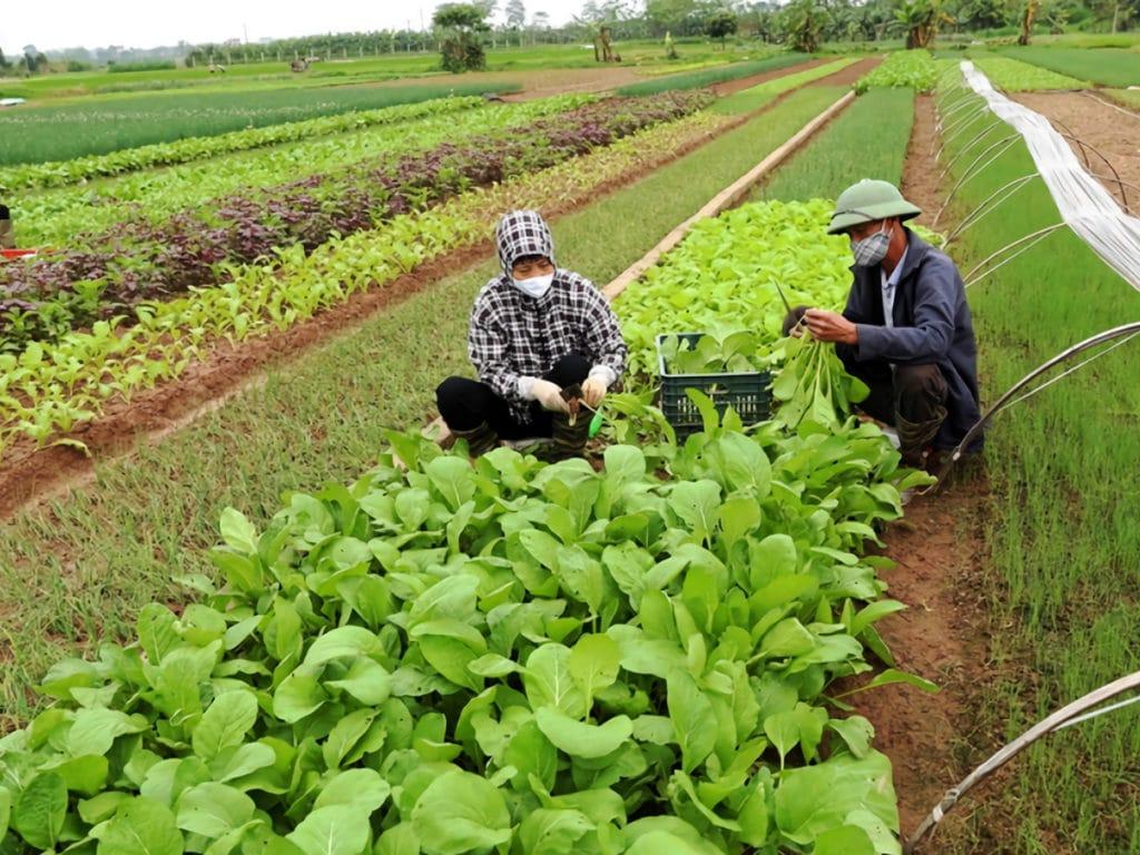 ホアイドゥック地区(ハノイ)にある野菜の専門栽培エリア