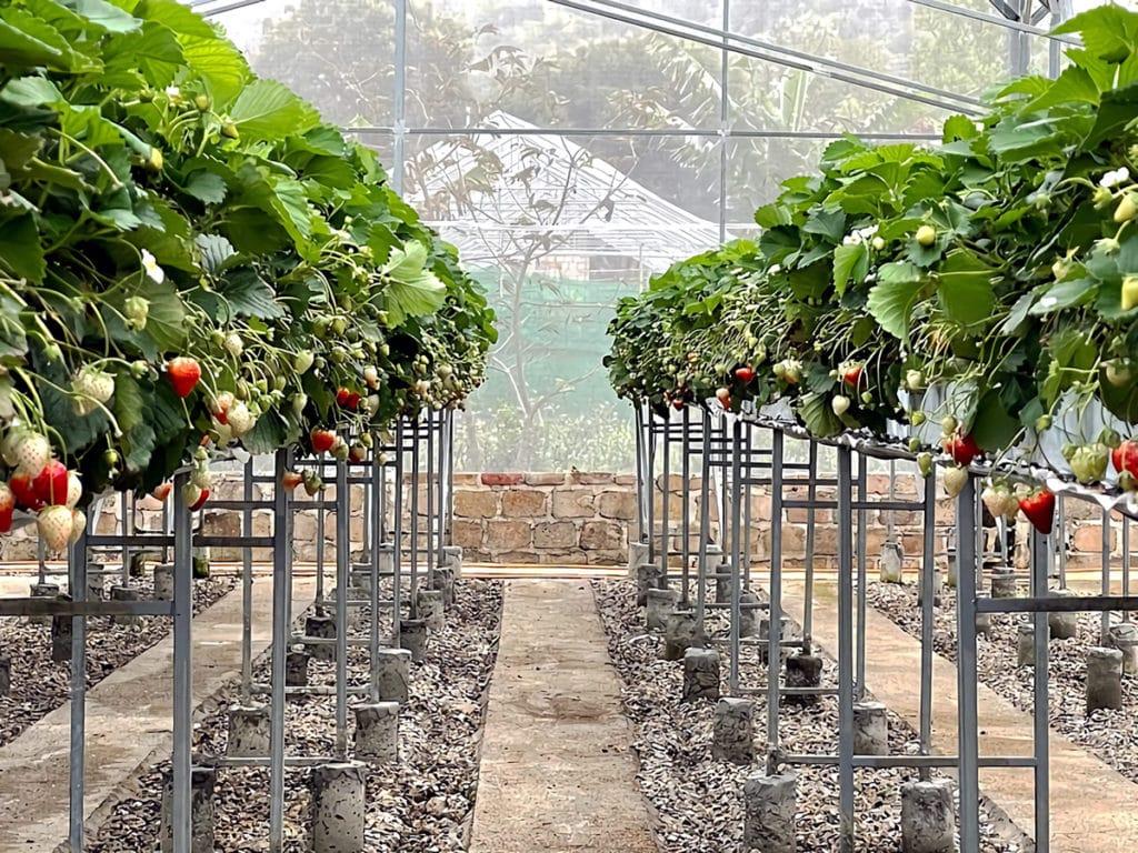 日越農産のイチゴハウス