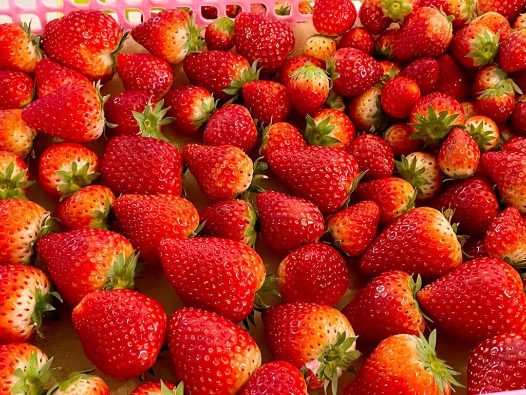日越農産のイチゴ