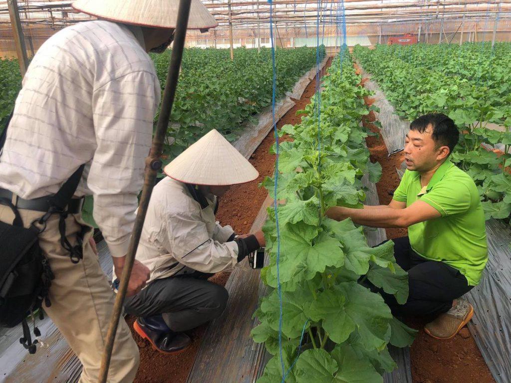 ベトナム中部高原ダラットのマスクメロン生産ビニールハウス